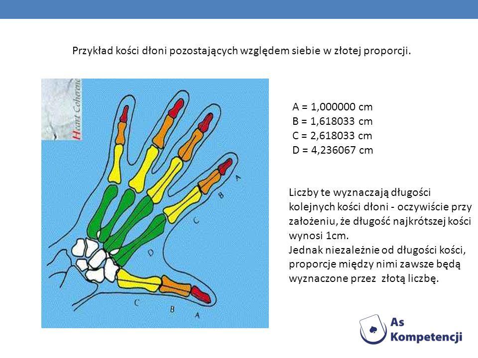 Przykład kości dłoni pozostających względem siebie w złotej proporcji. A = 1,000000 cm B = 1,618033 cm C = 2,618033 cm D = 4,236067 cm Liczby te wyzna