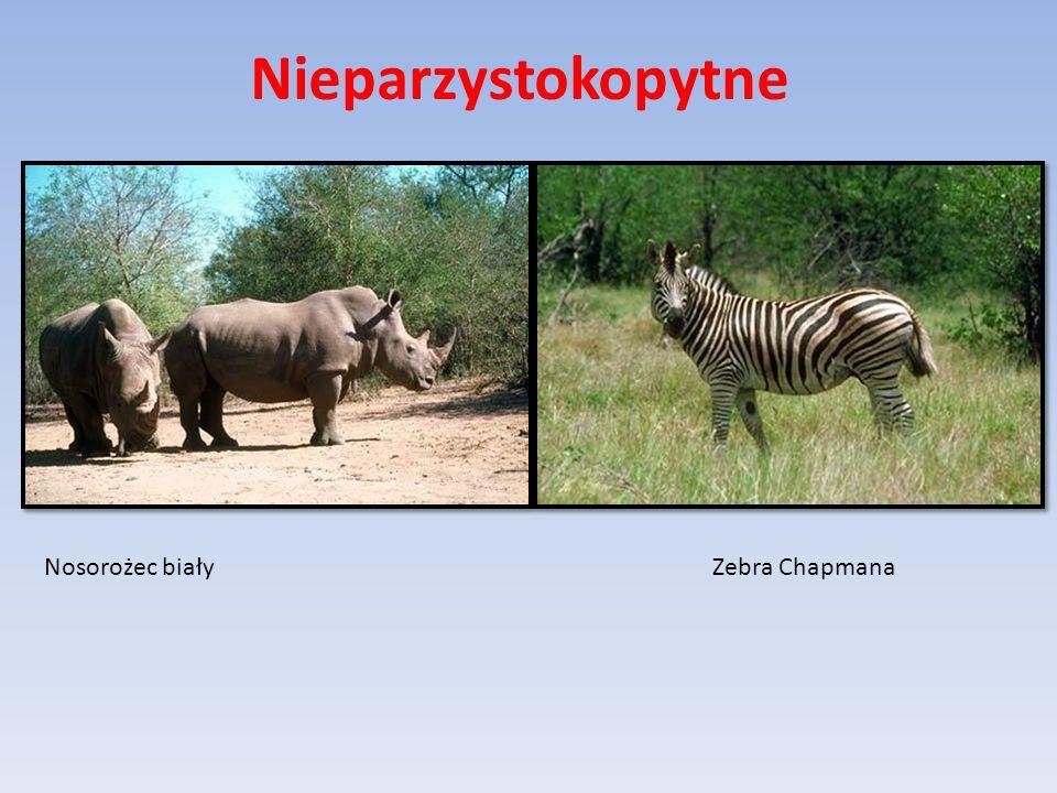 Nosorożec białyZebra Chapmana Nieparzystokopytne