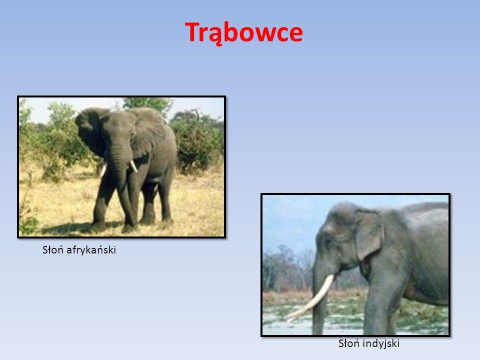 Słoń afrykański Słoń indyjski Trąbowce