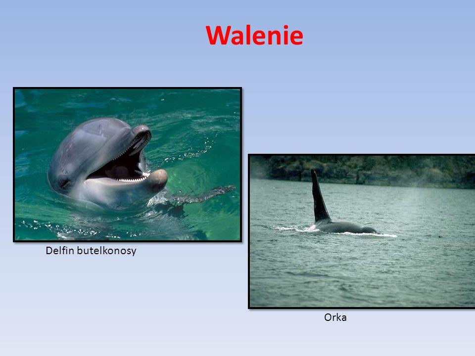 Delfin butelkonosy Orka Walenie
