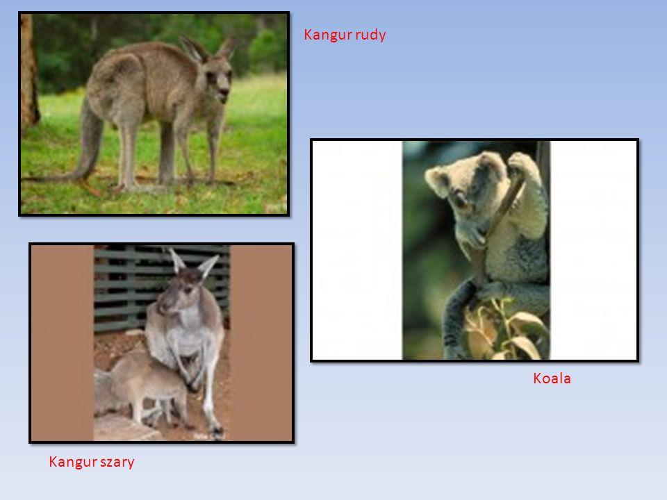 Kangur rudy Kangur szary Koala