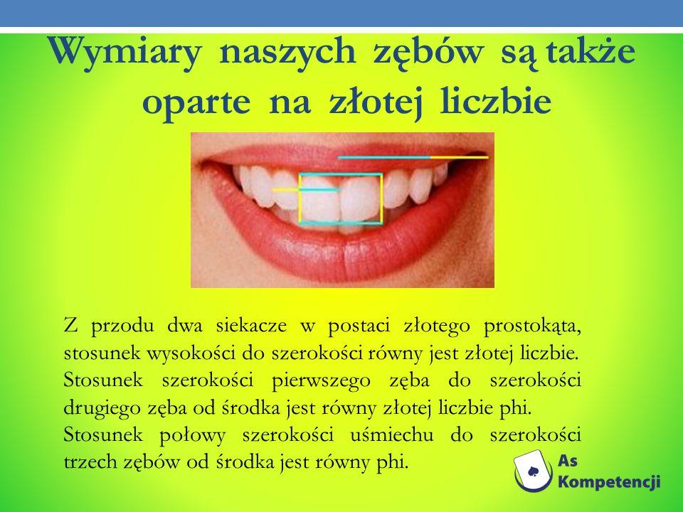Wymiary naszych zębów są także oparte na złotej liczbie Z przodu dwa siekacze w postaci złotego prostokąta, stosunek wysokości do szerokości równy jes