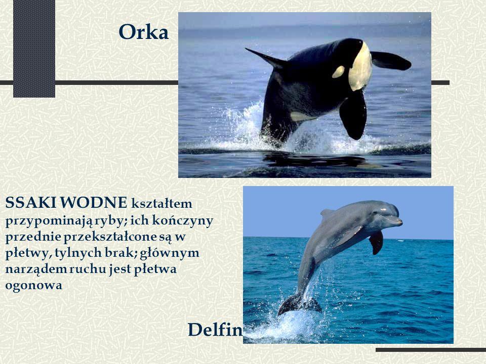 Orka SSAKI WODNE kształtem przypominają ryby; ich kończyny przednie przekształcone są w płetwy, tylnych brak; głównym narządem ruchu jest płetwa ogonowa Delfin