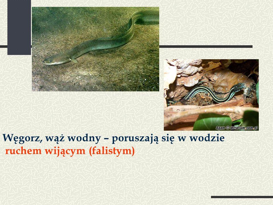 Węgorz, wąż wodny – poruszają się w wodzie ruchem wijącym (falistym)