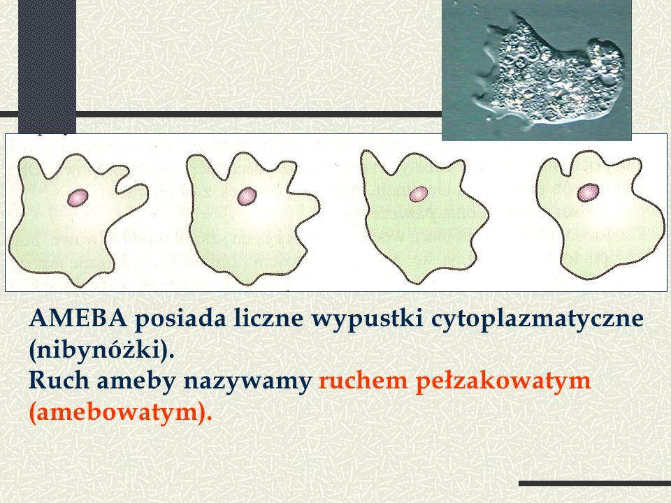AMEBA posiada liczne wypustki cytoplazmatyczne (nibynóżki). Ruch ameby nazywamy ruchem pełzakowatym (amebowatym).