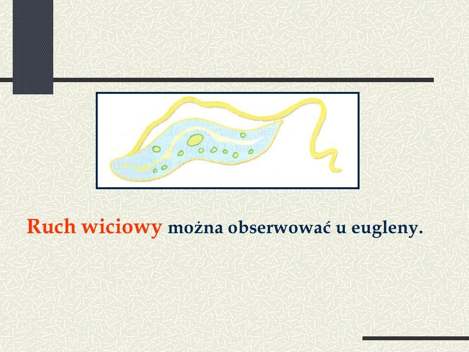Ruch wiciowy można obserwować u eugleny.