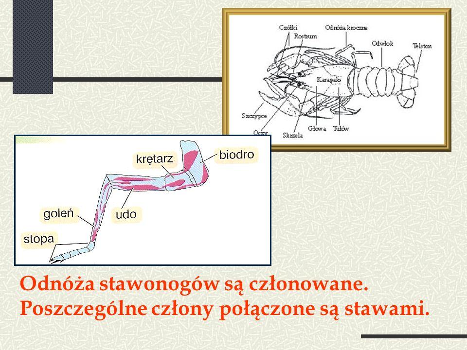 Odnóża stawonogów są członowane. Poszczególne człony połączone są stawami.