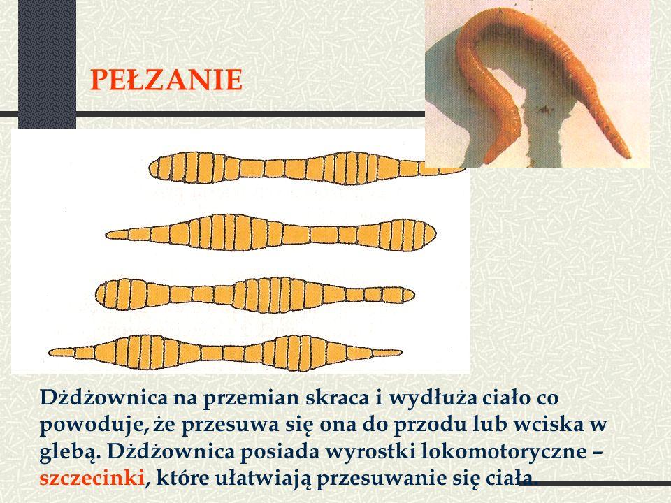 PEŁZANIE Dżdżownica na przemian skraca i wydłuża ciało co powoduje, że przesuwa się ona do przodu lub wciska w glebą. Dżdżownica posiada wyrostki loko