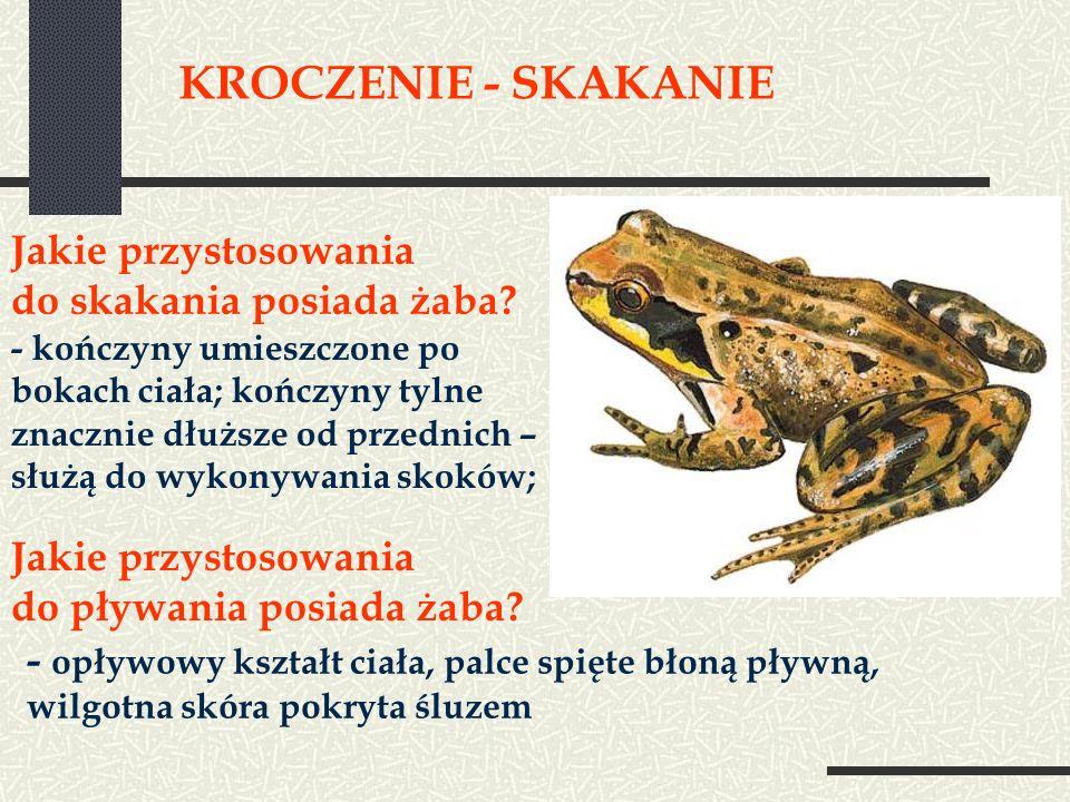 KROCZENIE - SKAKANIE Jakie przystosowania do skakania posiada żaba? - kończyny umieszczone po bokach ciała; kończyny tylne znacznie dłuższe od przedni
