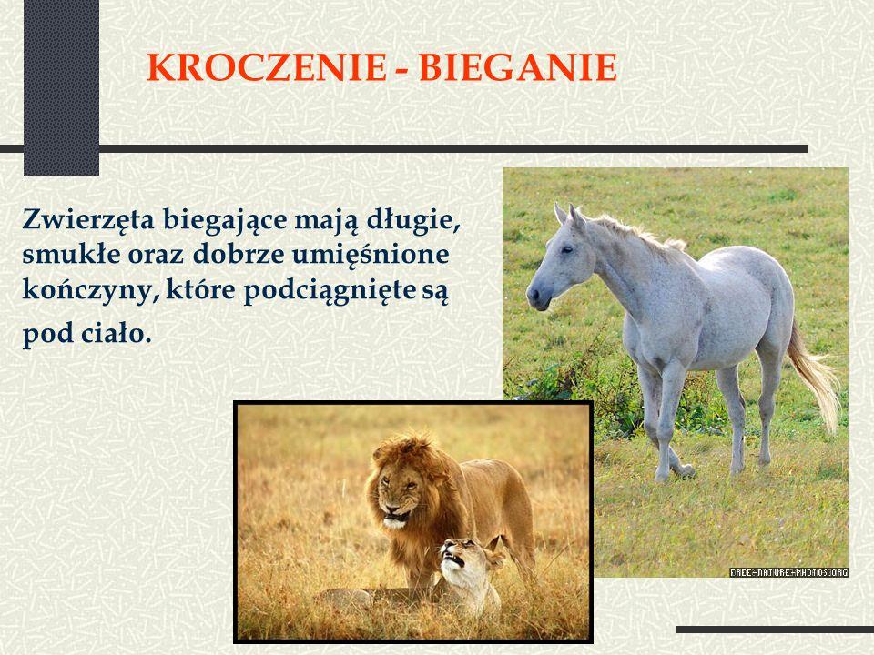 KROCZENIE - BIEGANIE Zwierzęta biegające mają długie, smukłe oraz dobrze umięśnione kończyny, które podciągnięte są pod ciało.
