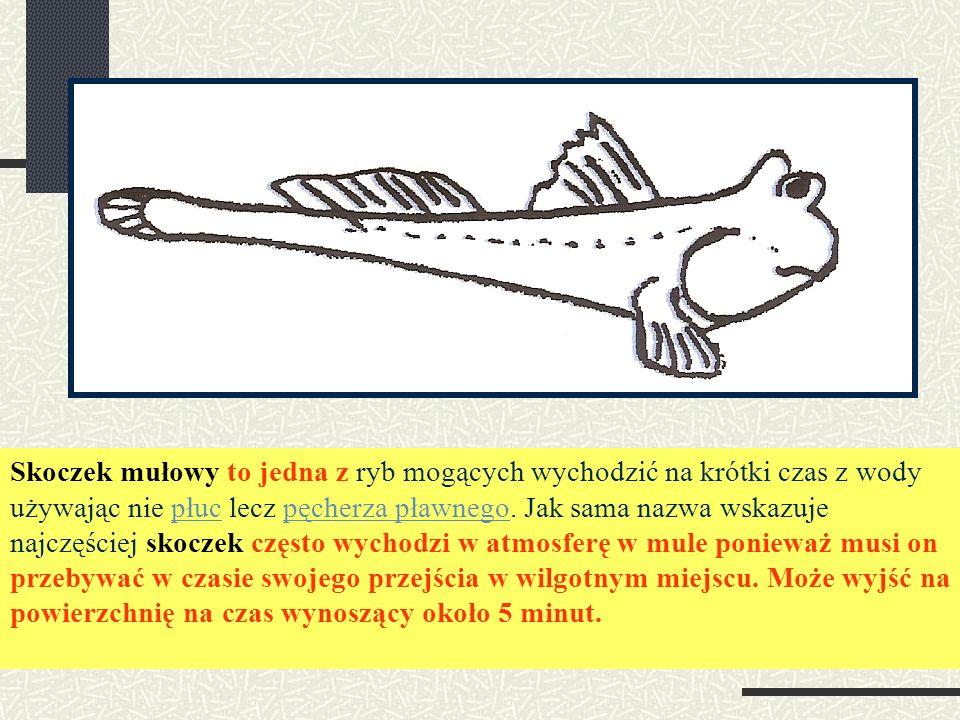 Skoczek mułowy to jedna z ryb mogących wychodzić na krótki czas z wody używając nie płuc lecz pęcherza pławnego.