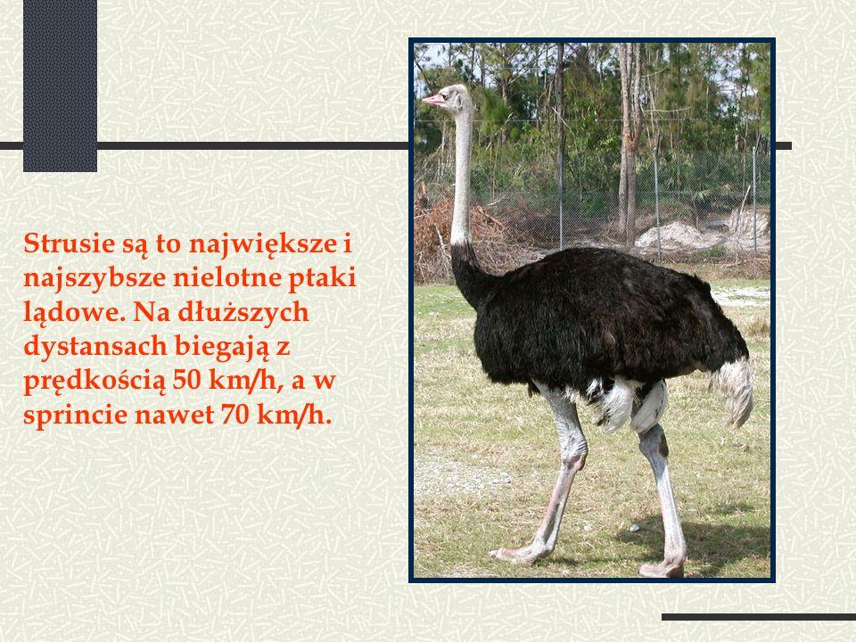 Strusie są to największe i najszybsze nielotne ptaki lądowe.