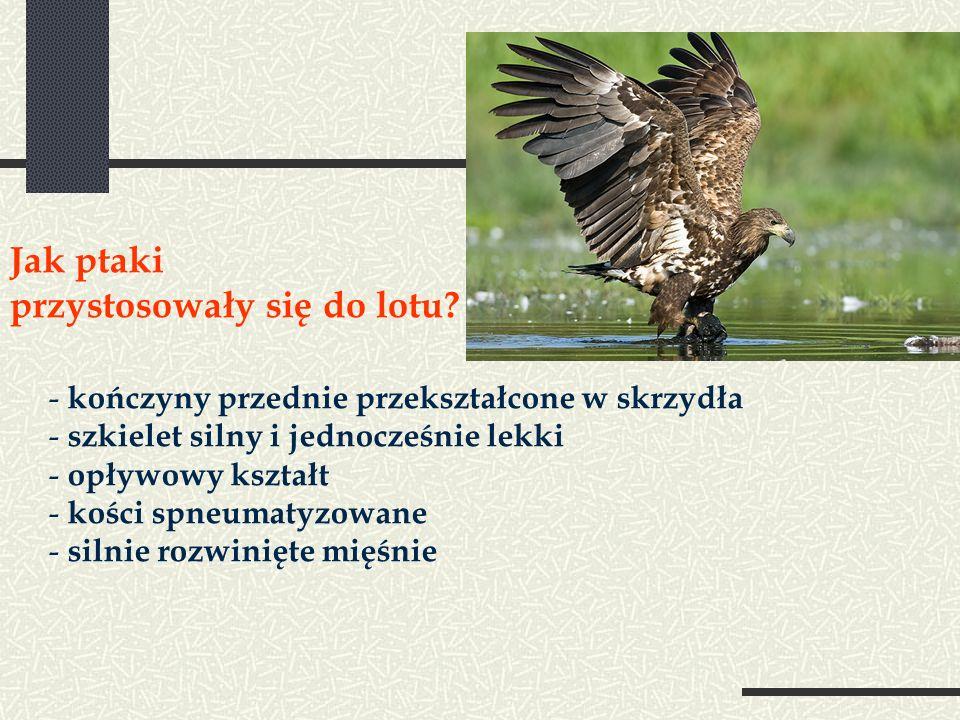 Jak ptaki przystosowały się do lotu? - kończyny przednie przekształcone w skrzydła - szkielet silny i jednocześnie lekki - opływowy kształt - kości sp