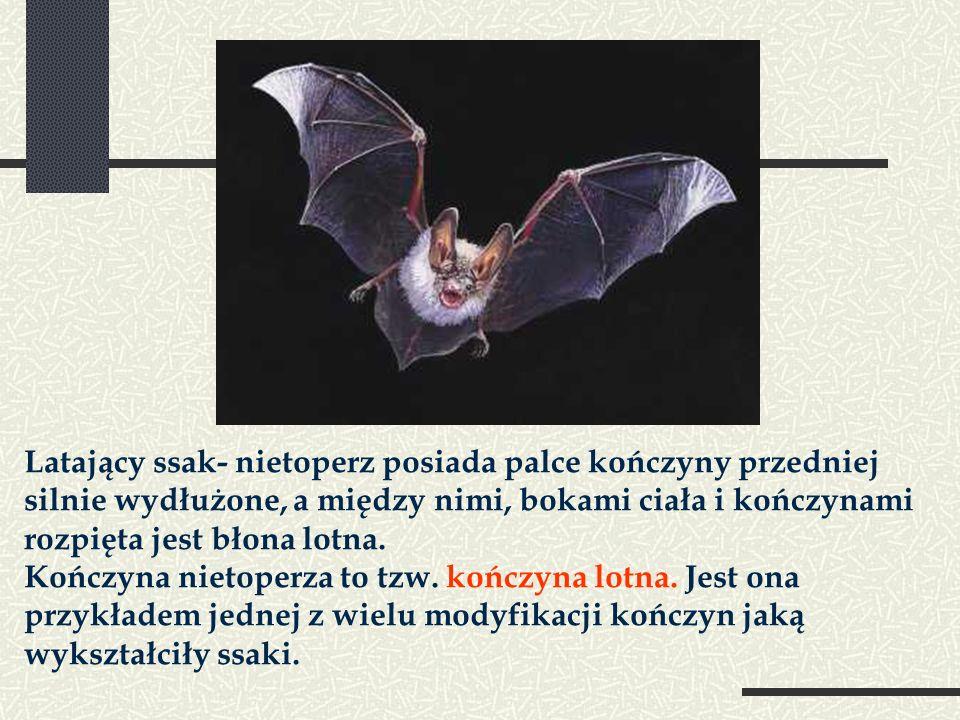 Latający ssak- nietoperz posiada palce kończyny przedniej silnie wydłużone, a między nimi, bokami ciała i kończynami rozpięta jest błona lotna.