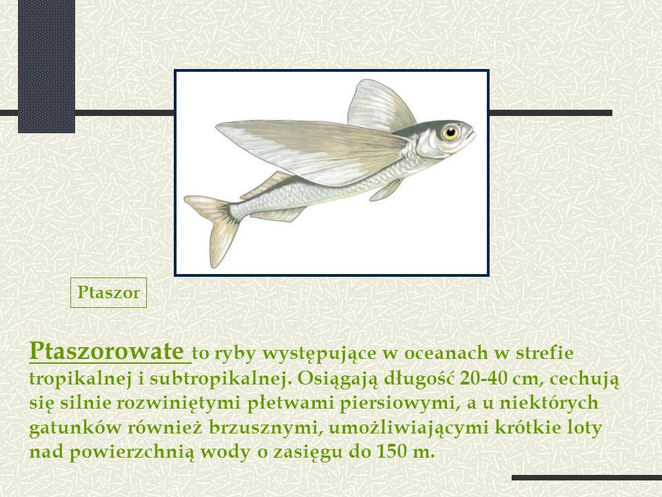 Ptaszorowate to ryby występujące w oceanach w strefie tropikalnej i subtropikalnej. Osiągają długość 20-40 cm, cechują się silnie rozwiniętymi płetwam
