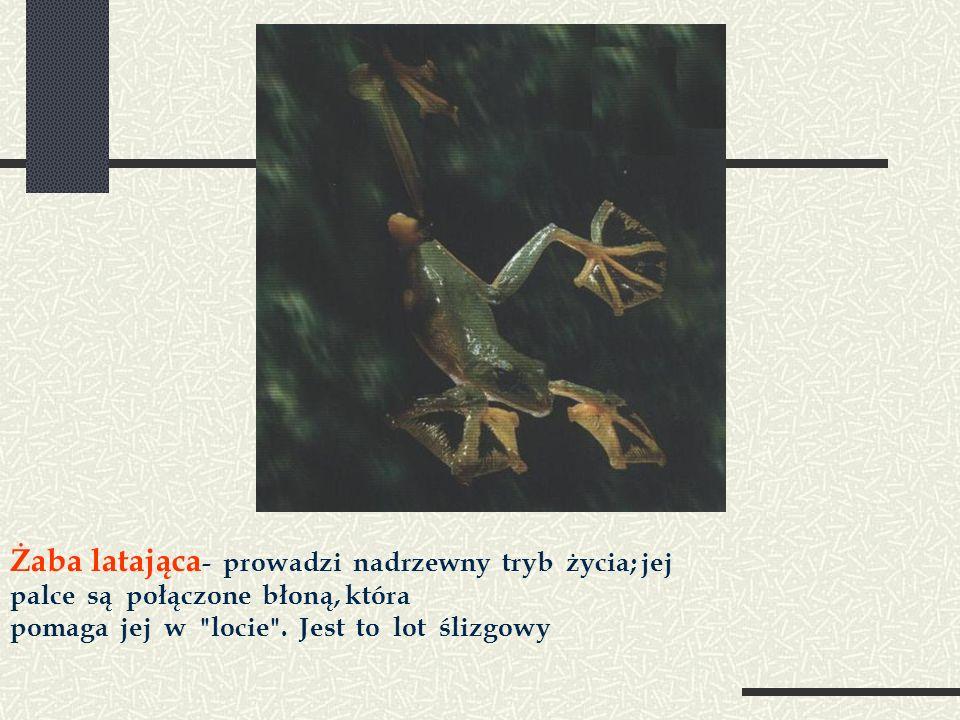 Żaba latająca - prowadzi nadrzewny tryb życia; jej palce są połączone błoną, która pomaga jej w locie .