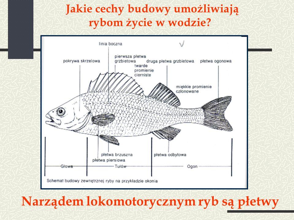 Jakie cechy budowy umożliwiają rybom życie w wodzie? Narządem lokomotorycznym ryb są płetwy