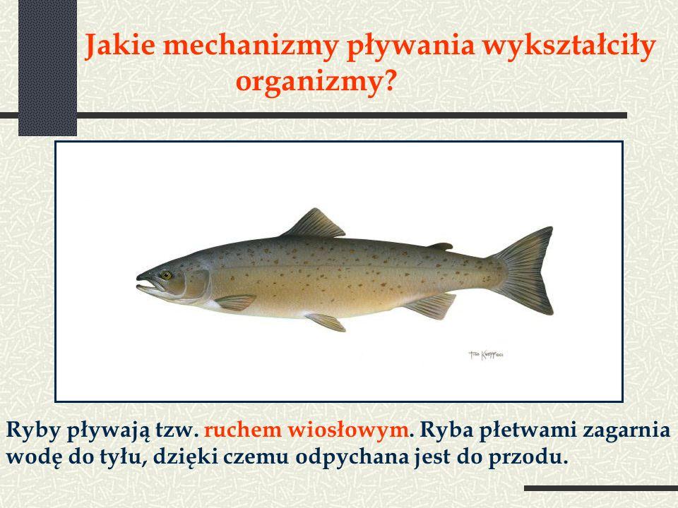 Jakie mechanizmy pływania wykształciły organizmy? Ryby pływają tzw. ruchem wiosłowym. Ryba płetwami zagarnia wodę do tyłu, dzięki czemu odpychana jest