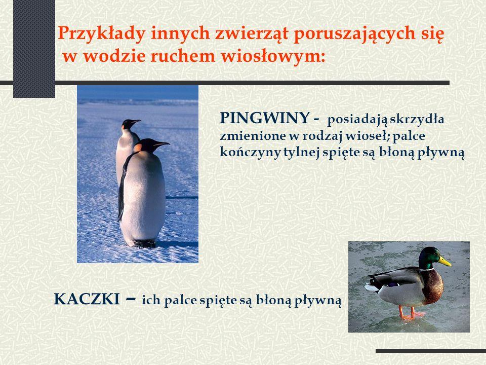 Przykłady innych zwierząt poruszających się w wodzie ruchem wiosłowym: PINGWINY - posiadają skrzydła zmienione w rodzaj wioseł; palce kończyny tylnej spięte są błoną pływną KACZKI – ich palce spięte są błoną pływną