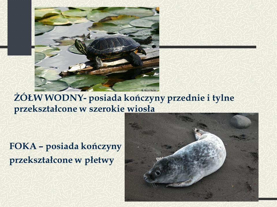 ŻÓŁW WODNY- posiada kończyny przednie i tylne przekształcone w szerokie wiosła FOKA – posiada kończyny przekształcone w płetwy