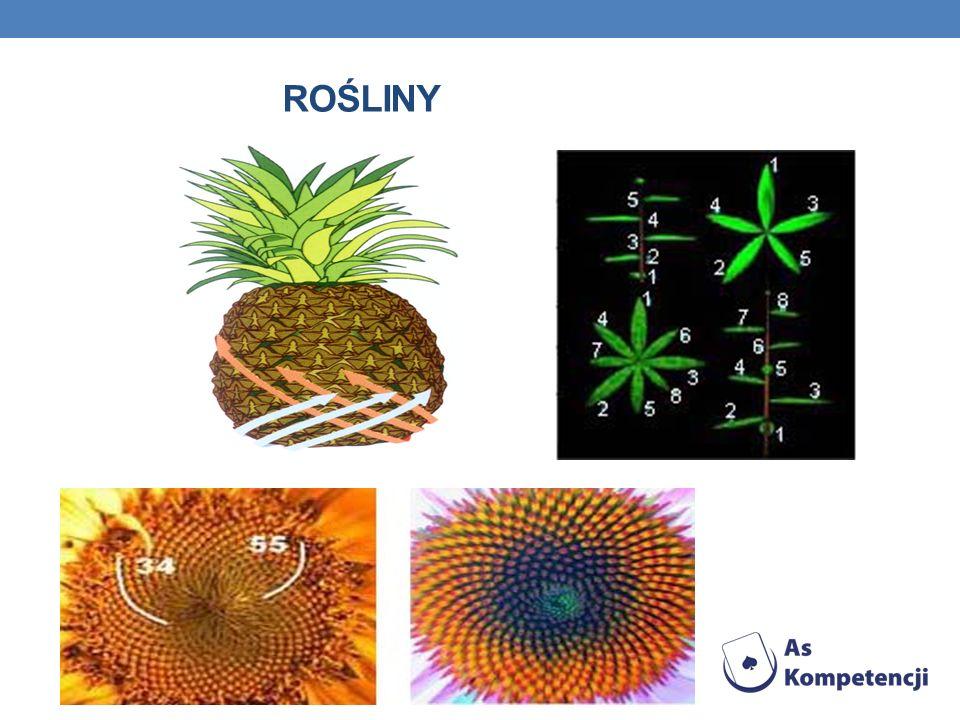 A WRACAJĄC DO ROŚLIN … Łuski ananasa, szyszek sosnowych, pestki w słonecznikach tworzą dwa układy linii spiralnych prawoskrętnych i lewoskrętnych. Lic