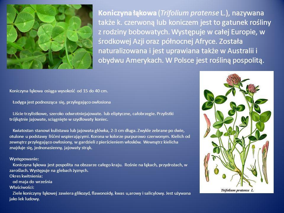 Koniczyna łąkowa (Trifolium pratense L.), nazywana także k. czerwoną lub koniczem jest to gatunek rośliny z rodziny bobowatych. Występuje w całej Euro