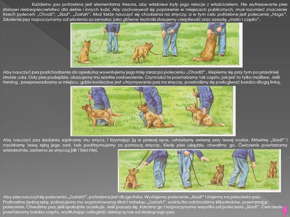 Każdemu psu potrzebna jest elementarna tresura, aby właściwe były jego relacje z właścicielem. Nie wytresowanie pies stanowi niebezpieczeństwo dla sie
