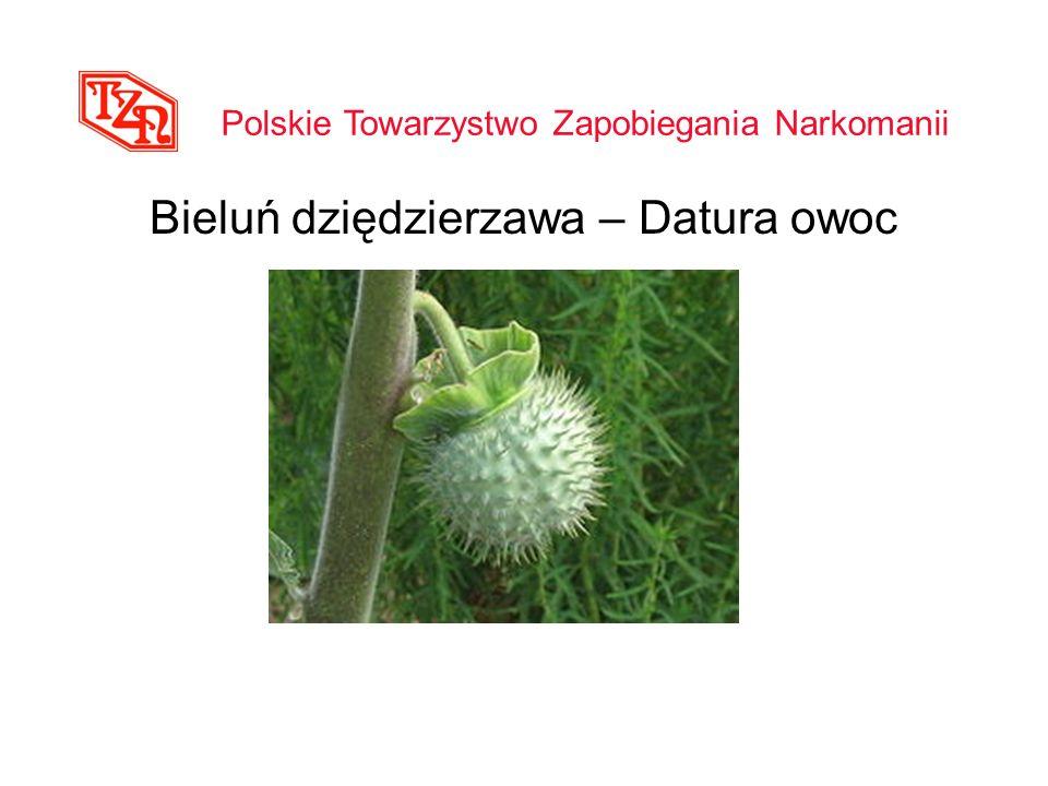 Bieluń dziędzierzawa – Datura owoc Polskie Towarzystwo Zapobiegania Narkomanii