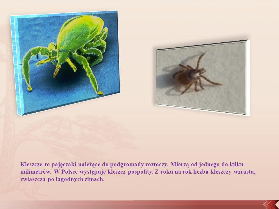 Kleszcze to pajęczaki należące do podgromady roztoczy. Mierzą od jednego do kilku milimetrów. W Polsce występuje kleszcz pospolity. Z roku na rok licz
