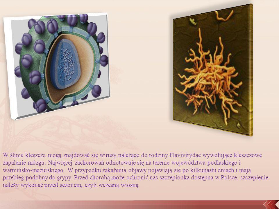 W ślinie kleszcza mogą znajdować się wirusy należące do rodziny Flavivirydae wywołujące kleszczowe zapalenie mózgu. Najwięcej zachorowań odnotowuje si