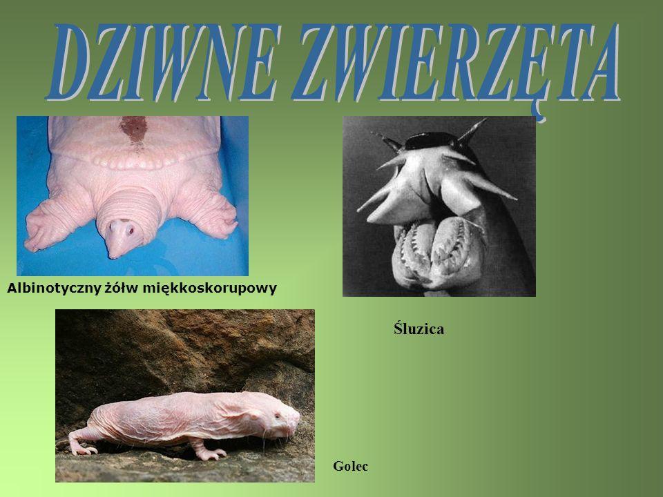 Albinotyczny żółw miękkoskorupowy Śluzica Golec