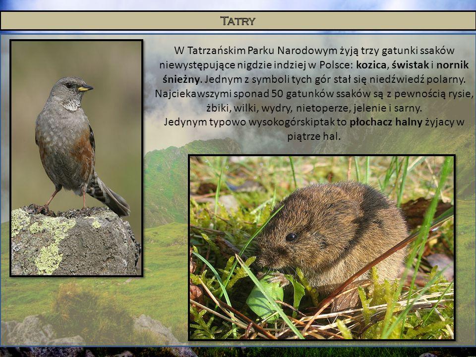 W Tatrzańskim Parku Narodowym żyją trzy gatunki ssaków niewystępujące nigdzie indziej w Polsce: kozica, świstak i nornik śnieżny. Jednym z symboli tyc