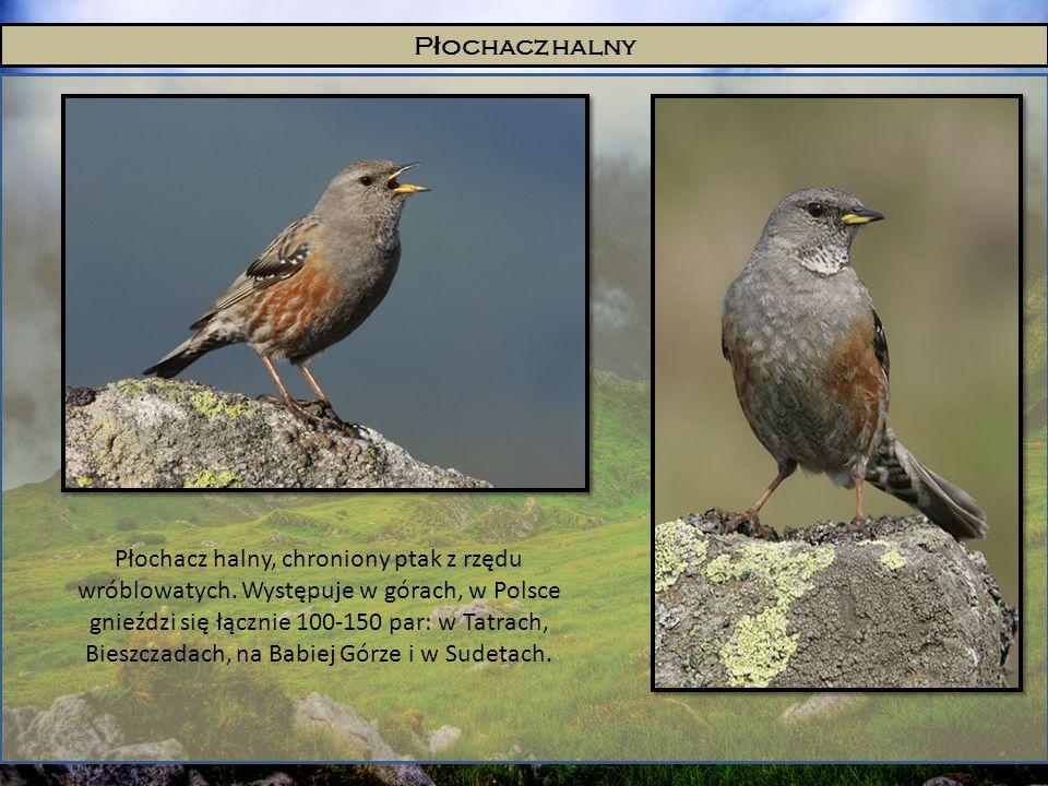 P ł ochacz halny Płochacz halny, chroniony ptak z rzędu wróblowatych. Występuje w górach, w Polsce gnieździ się łącznie 100-150 par: w Tatrach, Bieszc