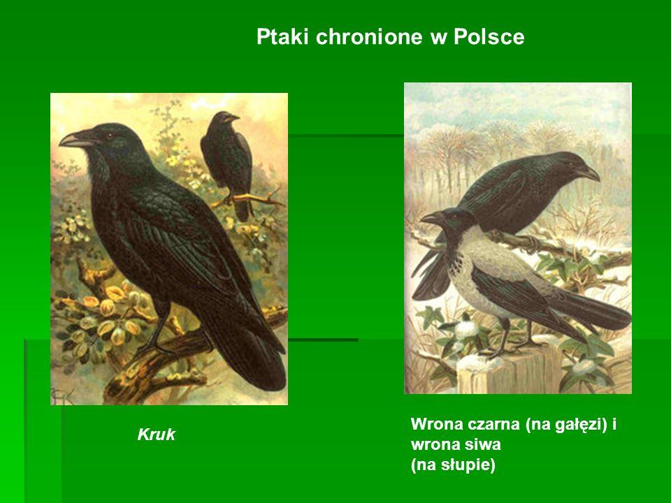 Ptaki chronione w Polsce Kruk Wrona czarna (na gałęzi) i wrona siwa (na słupie)