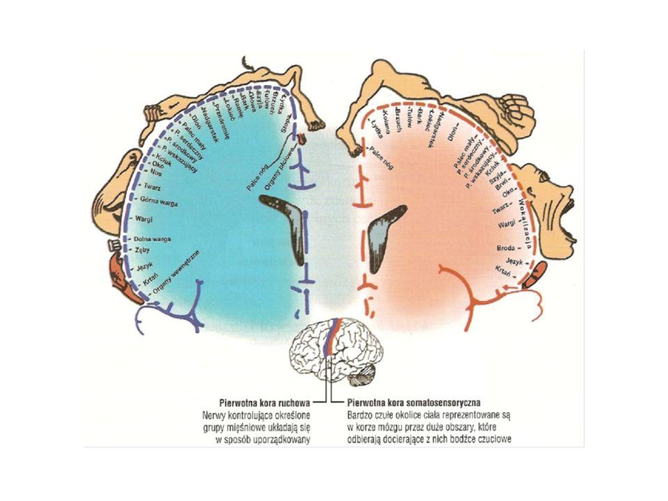 Wielkości poszczególnych części ciała wskazują na obszar kory mózgowej odpowiedzialnej za czucie i ruch (wg. teorii W. Penfielda)