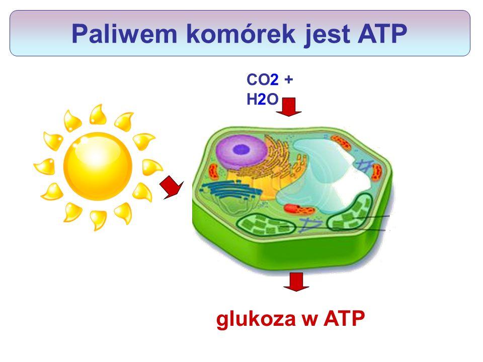 Paliwem komórek jest ATP glukoza ATP