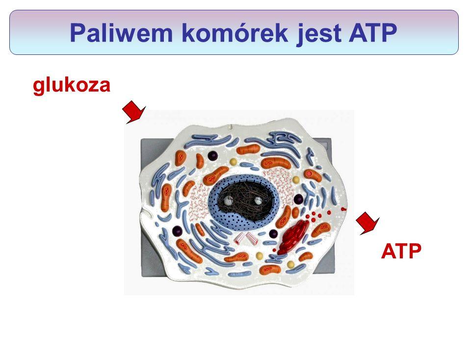 Jak zbudowane jest ATP.