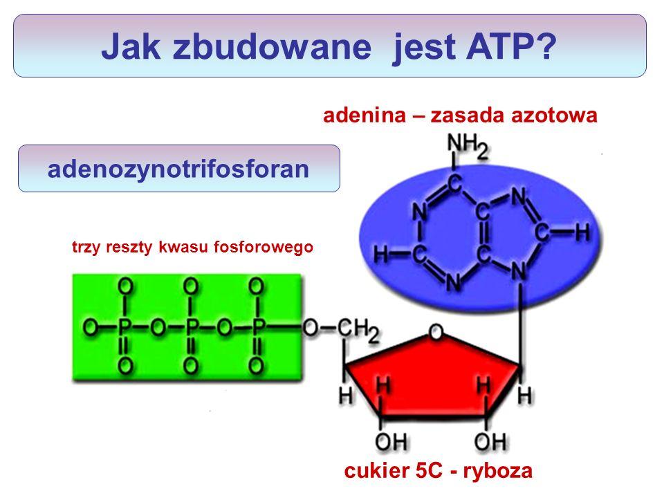 2 x 30,5 kJ energii dwa wiązania wysokoenergetyczne