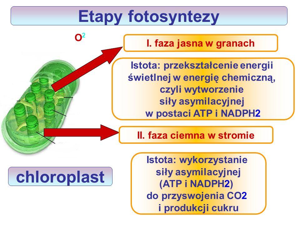 Jakie jest znaczenie fotosyntezy? materia organiczna producent konsumenci O2O2