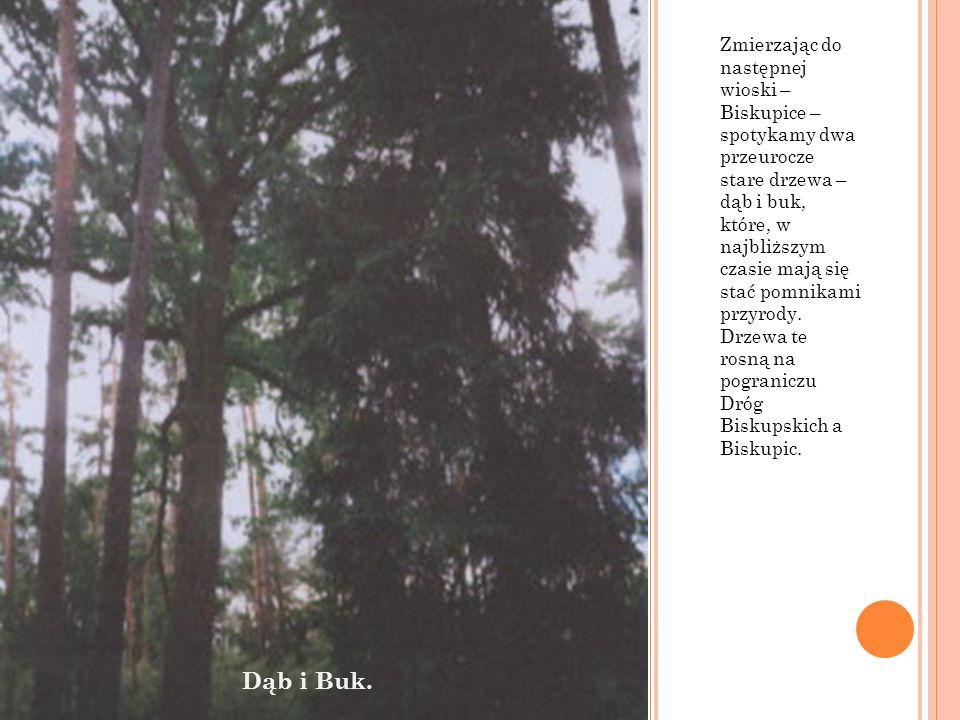 Zmierzając do następnej wioski – Biskupice – spotykamy dwa przeurocze stare drzewa – dąb i buk, które, w najbliższym czasie mają się stać pomnikami pr