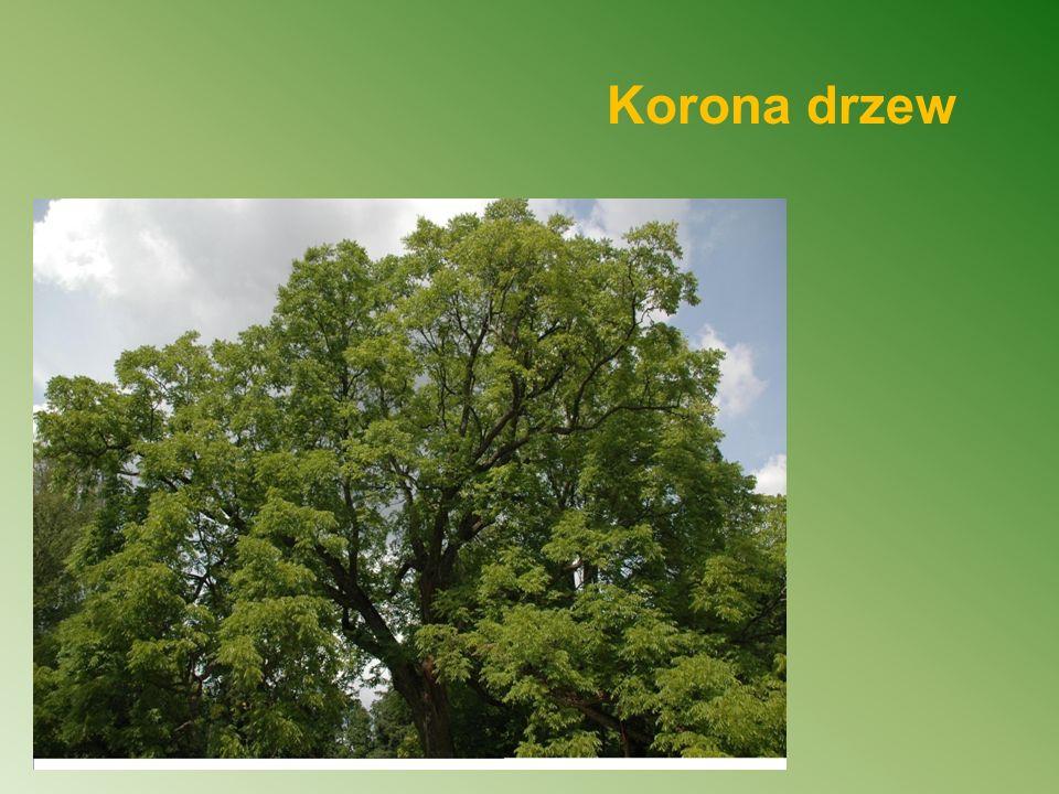 Korona drzew