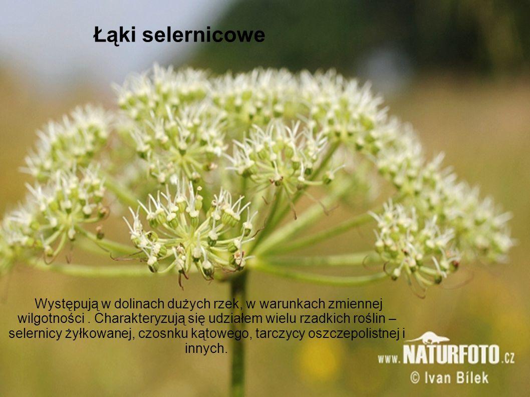 Łąki selernicowe Występują w dolinach dużych rzek, w warunkach zmiennej wilgotności. Charakteryzują się udziałem wielu rzadkich roślin – selernicy żył