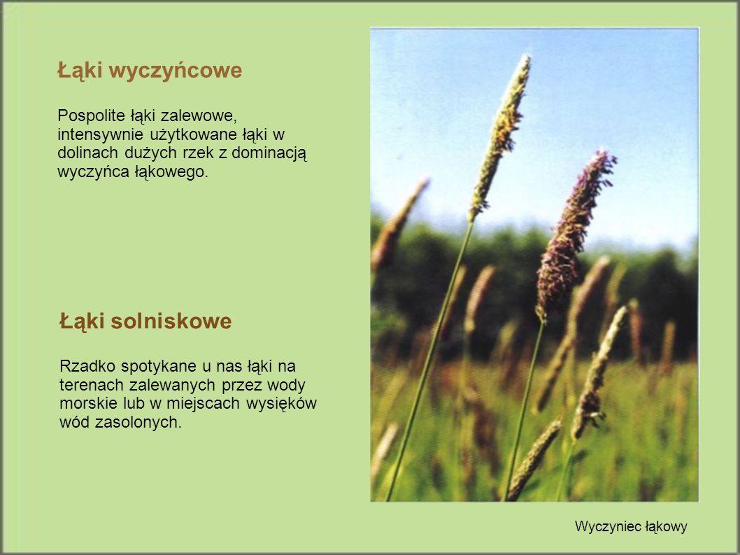 Łąki wyczyńcowe Pospolite łąki zalewowe, intensywnie użytkowane łąki w dolinach dużych rzek z dominacją wyczyńca łąkowego. Łąki solniskowe Rzadko spot