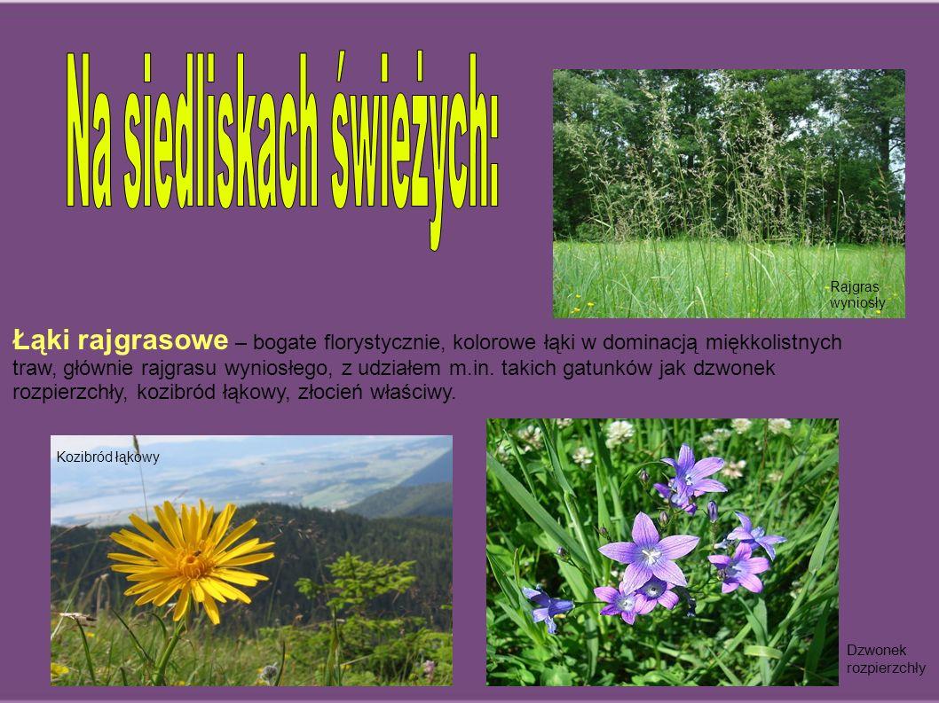 Łąki rajgrasowe – bogate florystycznie, kolorowe łąki w dominacją miękkolistnych traw, głównie rajgrasu wyniosłego, z udziałem m.in. takich gatunków j