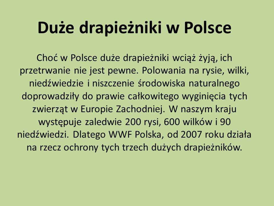 Duże drapieżniki w Polsce Choć w Polsce duże drapieżniki wciąż żyją, ich przetrwanie nie jest pewne. Polowania na rysie, wilki, niedźwiedzie i niszcze