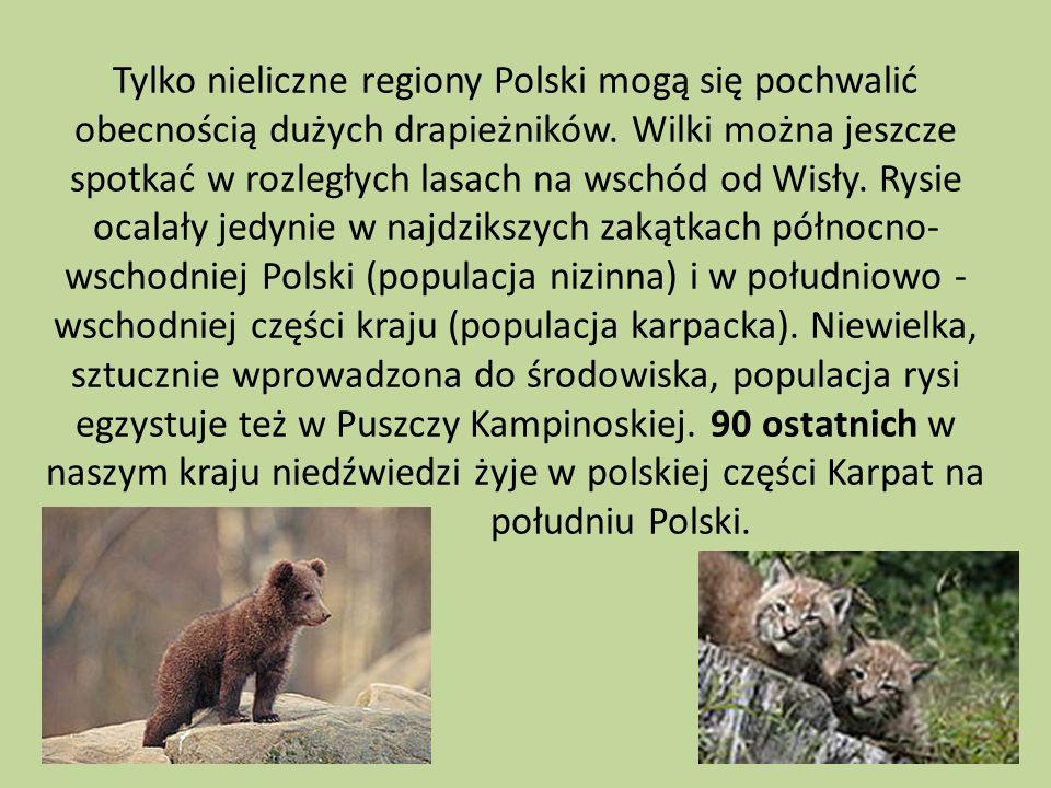 Tylko nieliczne regiony Polski mogą się pochwalić obecnością dużych drapieżników. Wilki można jeszcze spotkać w rozległych lasach na wschód od Wisły.