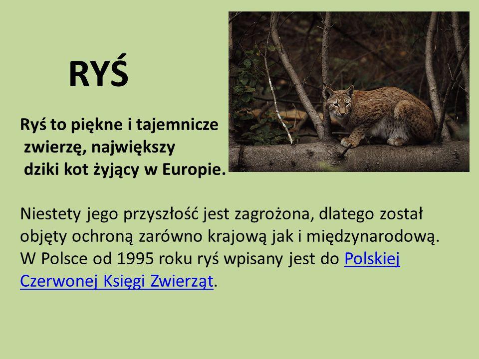 RYŚ Ryś to piękne i tajemnicze zwierzę, największy dziki kot żyjący w Europie. Niestety jego przyszłość jest zagrożona, dlatego został objęty ochroną