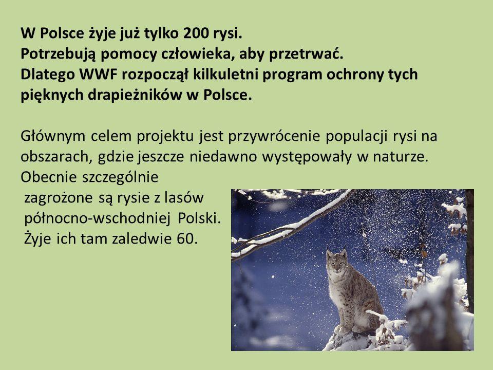 W Polsce żyje już tylko 200 rysi. Potrzebują pomocy człowieka, aby przetrwać. Dlatego WWF rozpoczął kilkuletni program ochrony tych pięknych drapieżni
