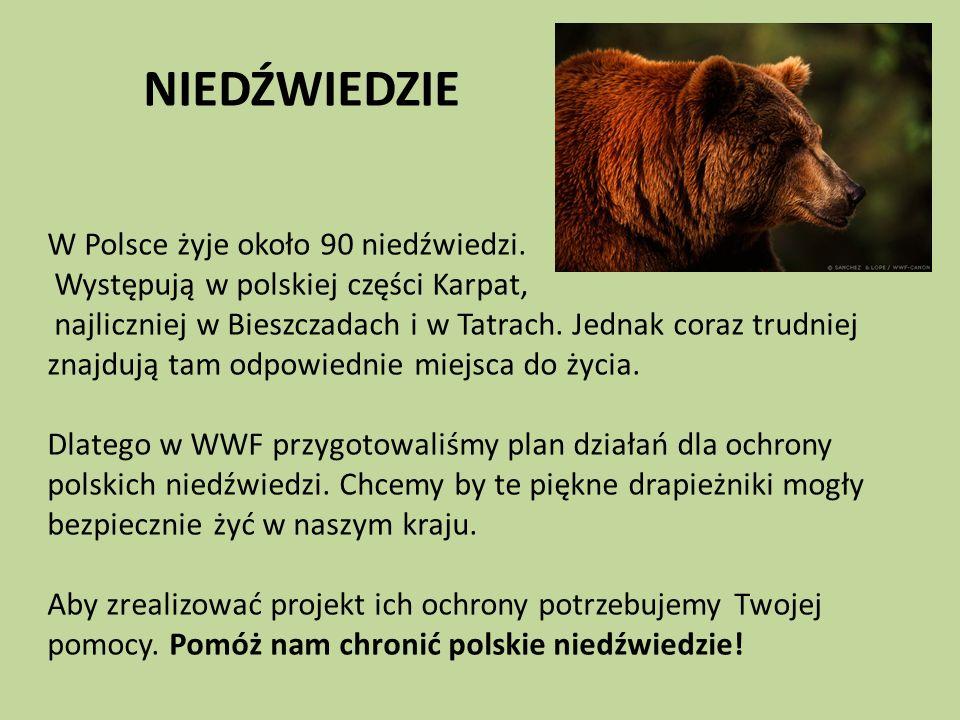 NIEDŹWIEDZIE W Polsce żyje około 90 niedźwiedzi. Występują w polskiej części Karpat, najliczniej w Bieszczadach i w Tatrach. Jednak coraz trudniej zna