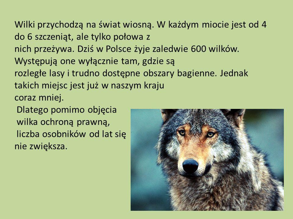 Wilki przychodzą na świat wiosną. W każdym miocie jest od 4 do 6 szczeniąt, ale tylko połowa z nich przeżywa. Dziś w Polsce żyje zaledwie 600 wilków.